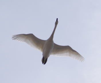 お幕場大池公園 白鳥