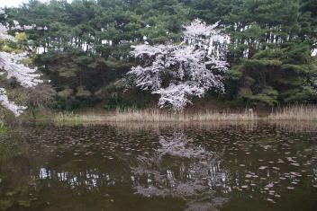じゅんさい池公園 桜