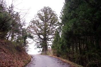 三川 峠の巨木