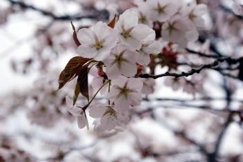 大峰山桜公園 桜