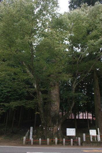 親都神社の大けやき