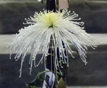 弥彦神社 菊まつり