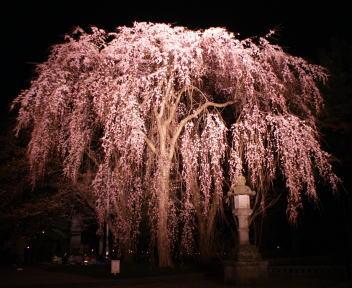 高田城百万人観桜会 枝垂れ桜