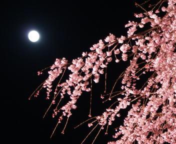 高田城百万人観桜会 枝垂れ桜+月