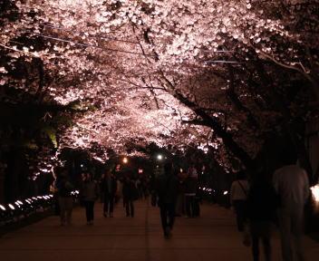 高田城百万人観桜会 桜ロード