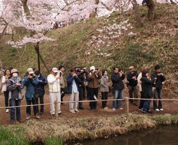 高遠城址公園 桜雲橋 群がるカメラマン