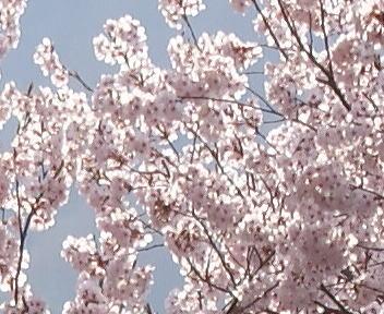 高遠城址公園 朝日に輝くタカトオコヒガンザクラ