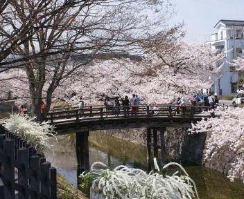 松本城 お堀の桜