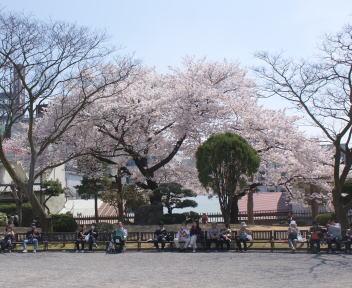 松本城 桜