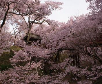 高遠城址公園 桜雲橋 斜め下から