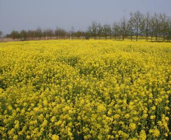福島潟 菜の花畑