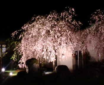 クリオン 枝垂れ桜