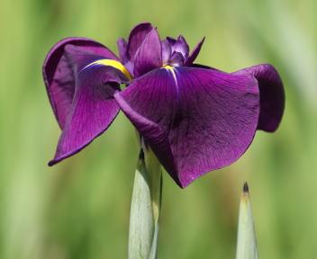 しばた あやめまつり 小紫
