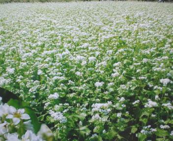 上塩地そばまつり そばの花