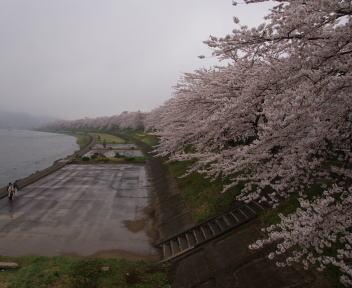 角館の桜まつり 桧木内川堤 横町橋上より