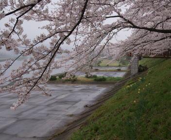 角館の桜まつり 桧木内川堤 横町橋近く