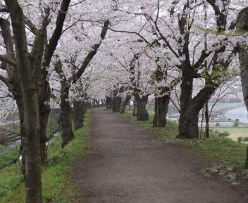 角館の桜まつり 桧木内川堤