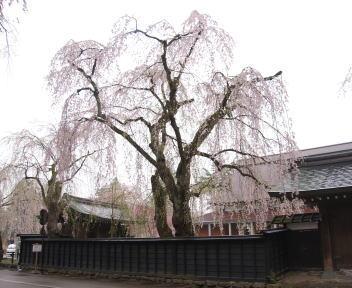 角館の桜まつり 武家屋敷通り 樺細工伝承館 枝垂れ桜