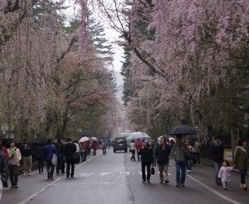 角館の桜まつり 武家屋敷通り 古城山方向