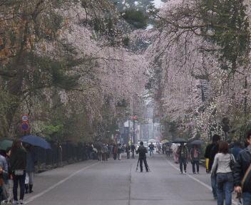 角館の桜まつり 武家屋敷通り 横町方向