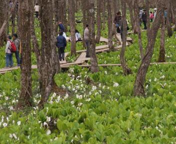 刺巻湿原水芭蕉群生地