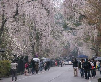 角館の桜まつり 武家屋敷通り