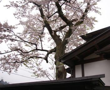 角館の桜まつり 安藤醸造元 古木桜