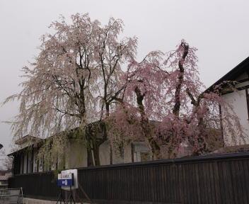 角館の桜まつり 安藤醸造元 枝垂れ桜