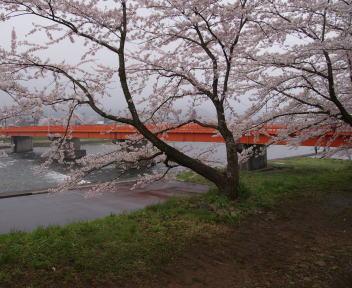 角館の桜まつり 桧木内川堤 横町橋