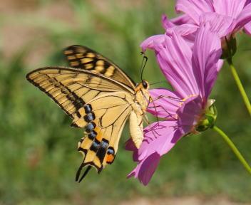わらアートまつり あげは蝶①