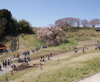 三春滝桜 全景
