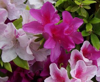 松山城 花