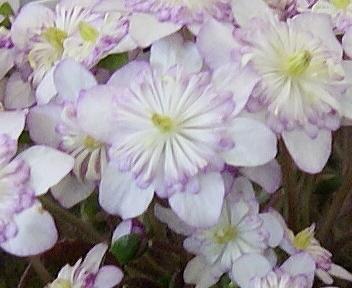 日本・新潟雪割草まつり 妖精咲 春の宴