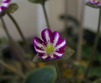 日本・新潟雪割草まつり 標準花「晴天」