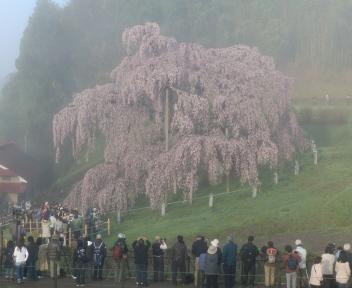 三春滝桜 ①