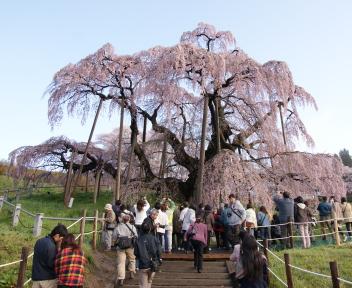三春滝桜 ②