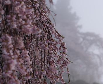 三春滝桜 ③