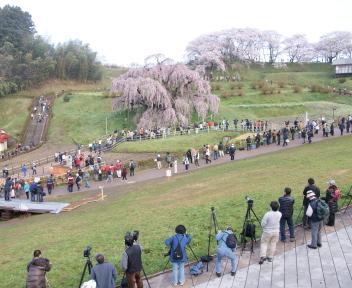 三春滝桜 ④