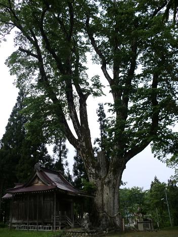 赤谷十二神社の大ケヤキ