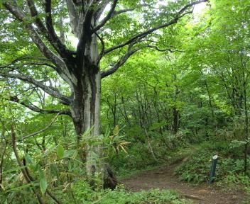 粟ヶ岳 下田小俣登山道 大ぶなの木