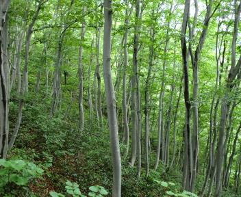 粟ヶ岳 下田小俣登山道 ぶな林①