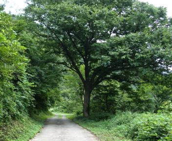湯の平温泉 大きな木
