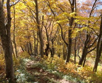 大石山 ブナ林④