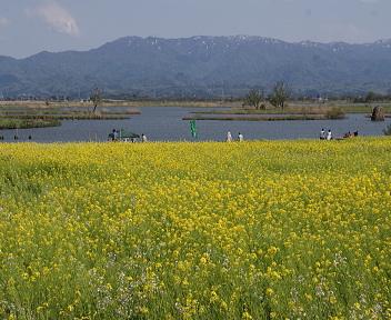 福島潟の菜の花①