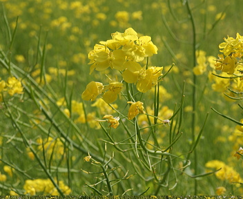 福島潟の菜の花②