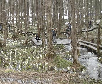 刺巻湿原の水ばしょう群生地