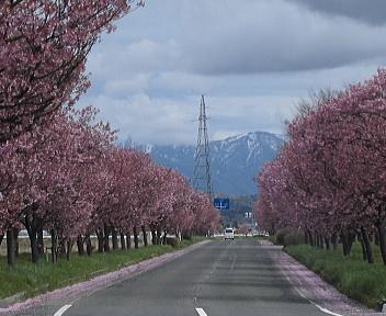 桜舞うみち 陽光桜